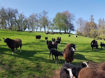 handweavers-guild-cork-road-trip-spring-2018-zwartbles-ewes